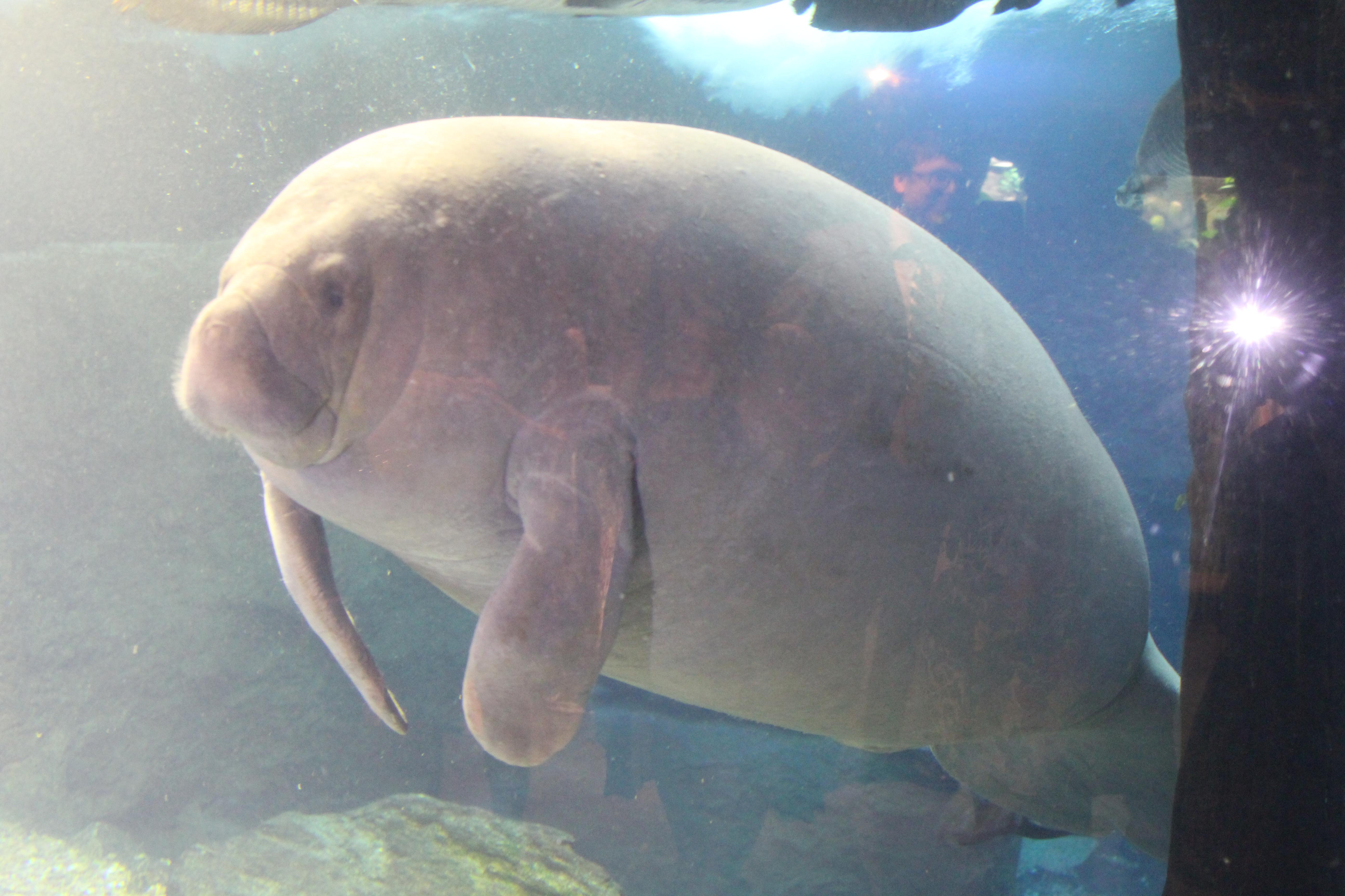 Dallas Aquarium manatee thesweetwanderlust.com