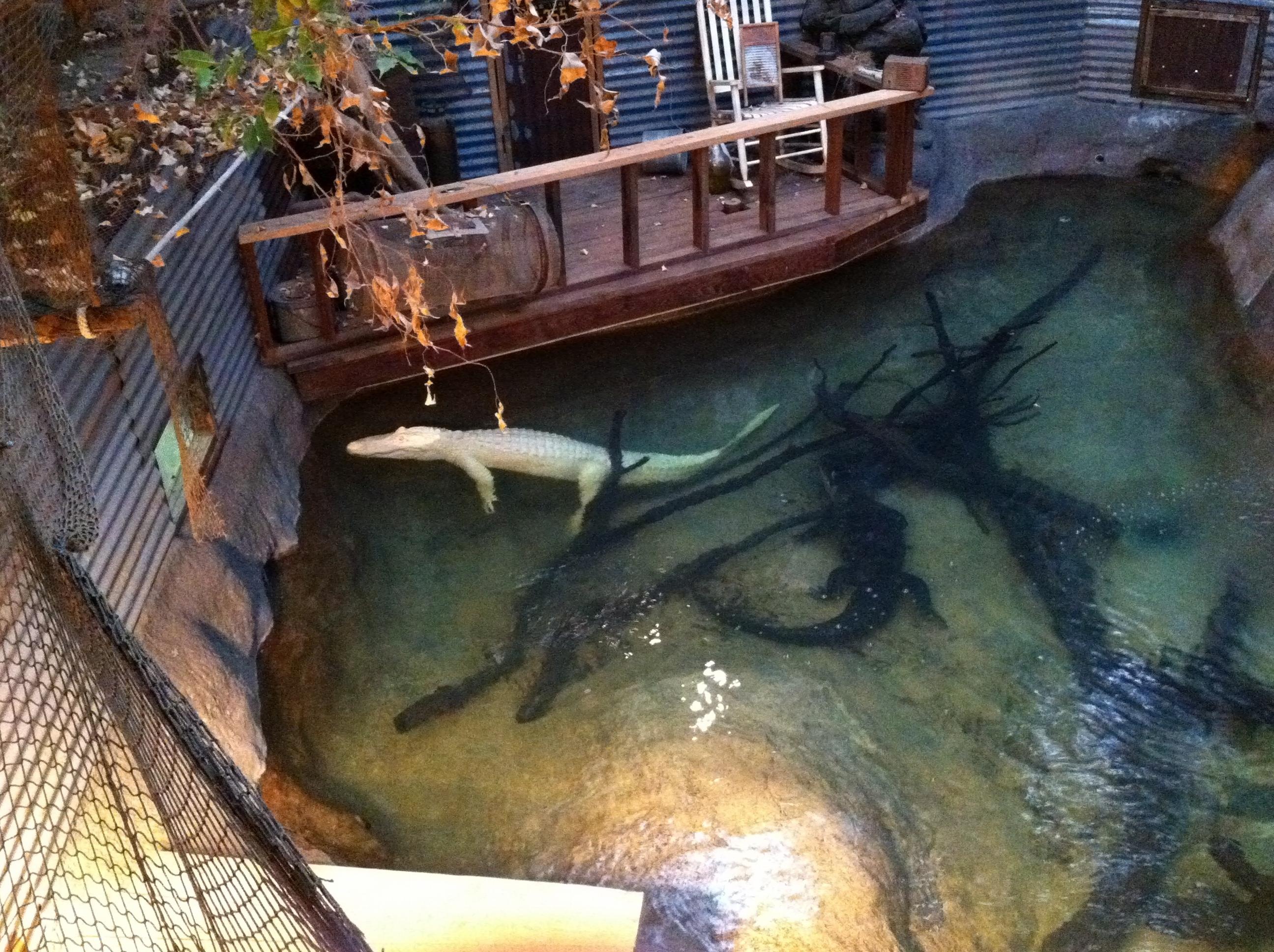 Dallas Zoo Albino Alligator thesweetwanderlust.com