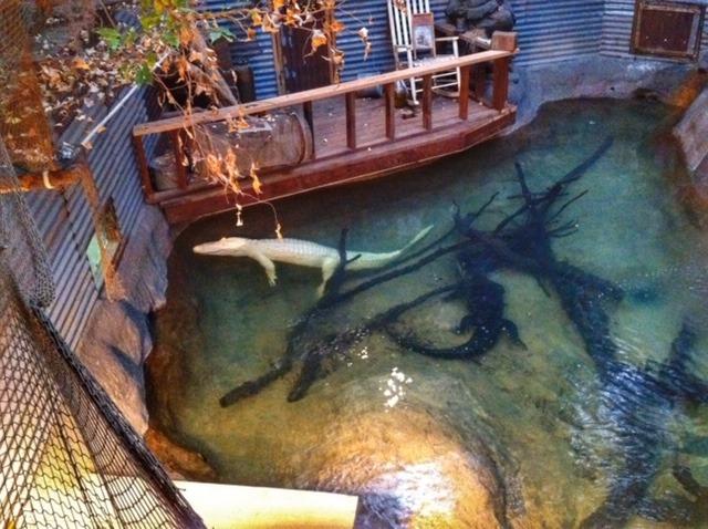 Dallas-Zoo-Albino-Alligator