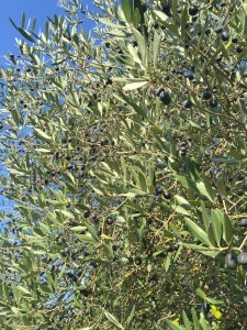 Olives thesweetwanderlust.com