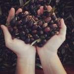 Olive this life – volunteering on an olive harvest in Italy