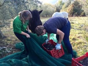 Horse help olive harvest thesweetwanderlust.com