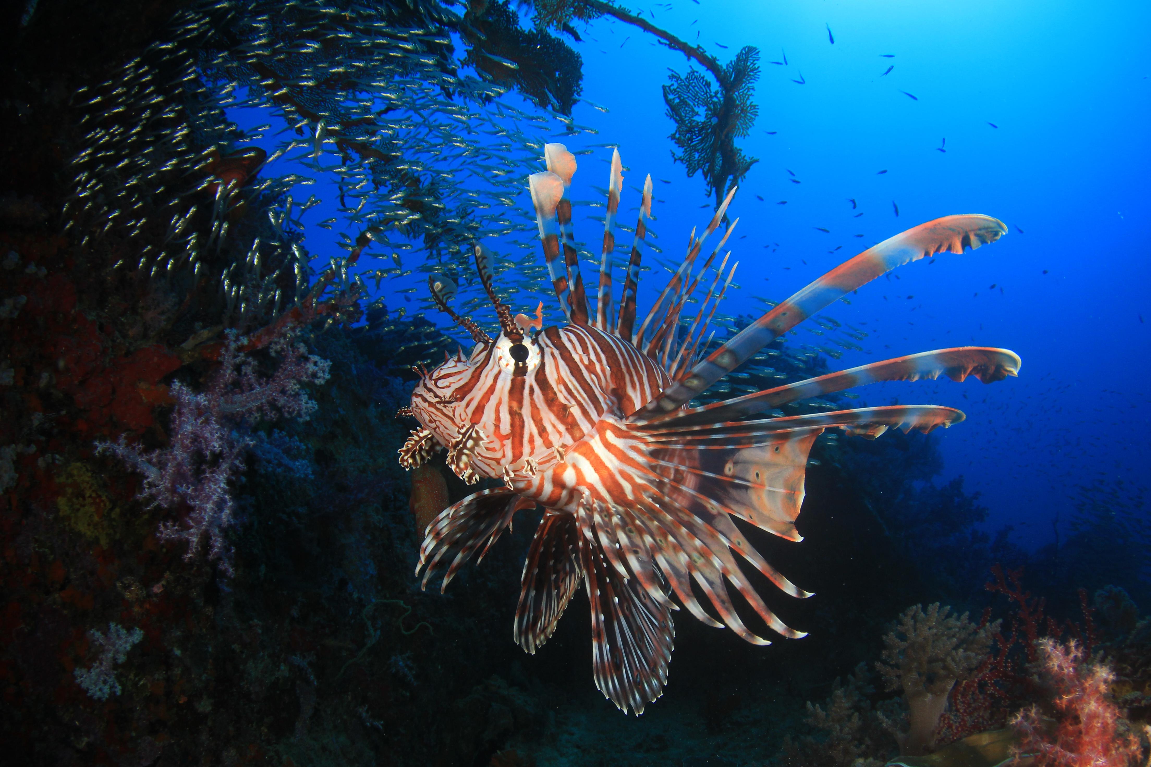 Lion fish Similan Islands Thailand