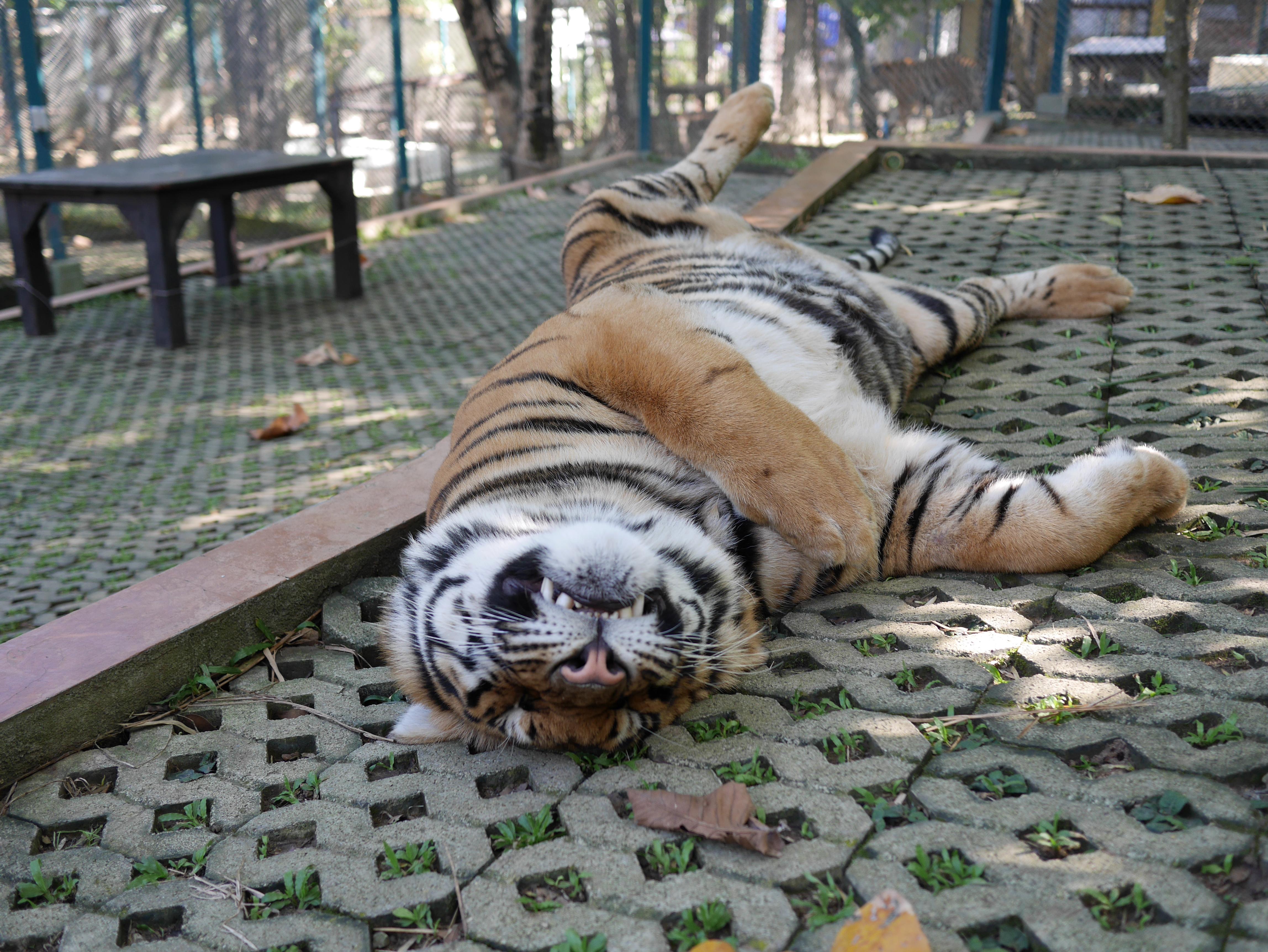 Chiang Mai Thailand Tiger Kingdom thesweetwanderlust.com