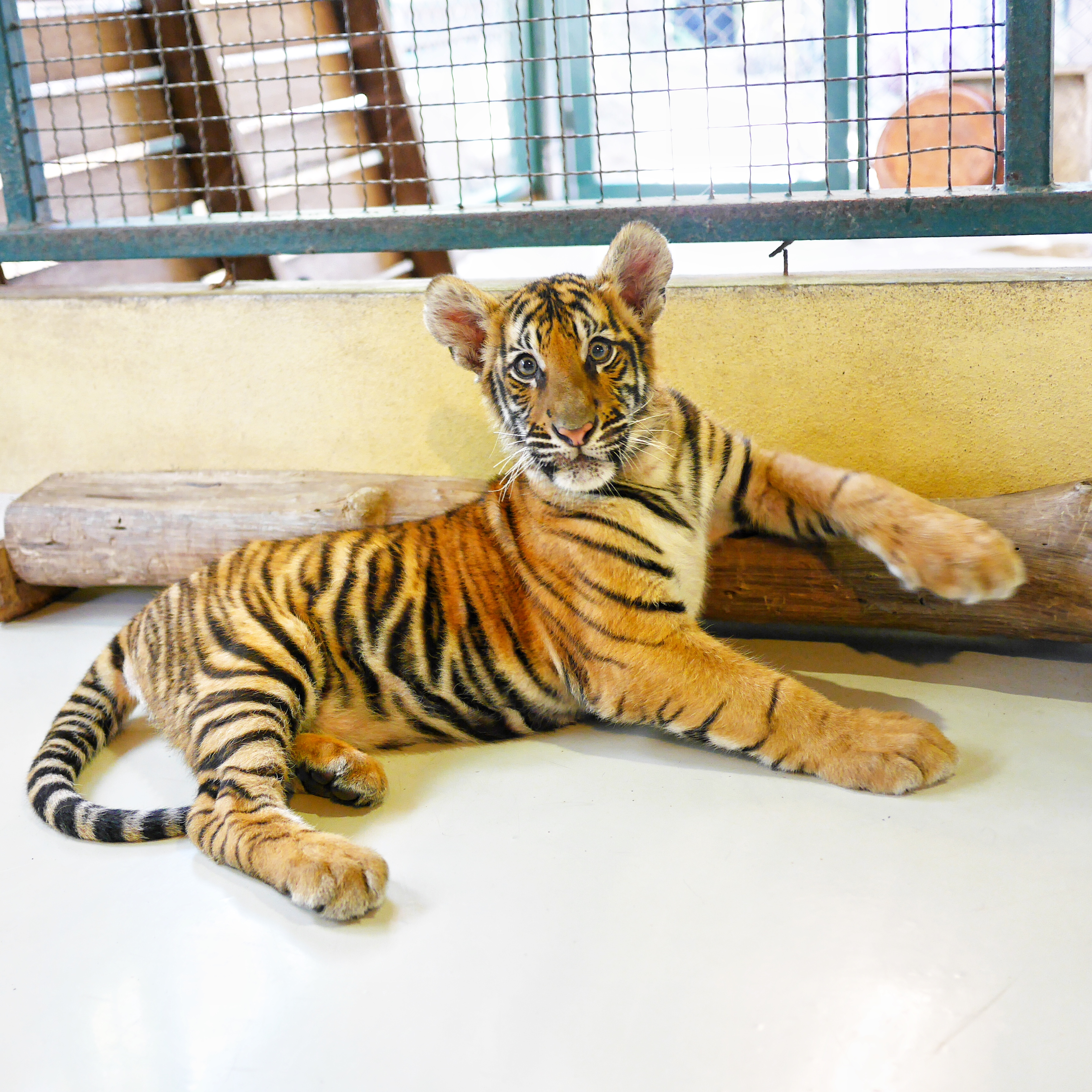 Tiger cub Tiger Kingdom Chiang Mai thesweetwanderlust.com