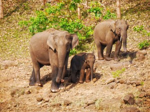 elephant family at the Periyar Tiger Reserve Kerala India thesweetwanderlust.com