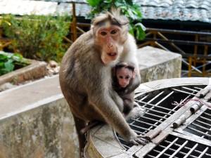 Monkey at Periyar Tiger Reserve