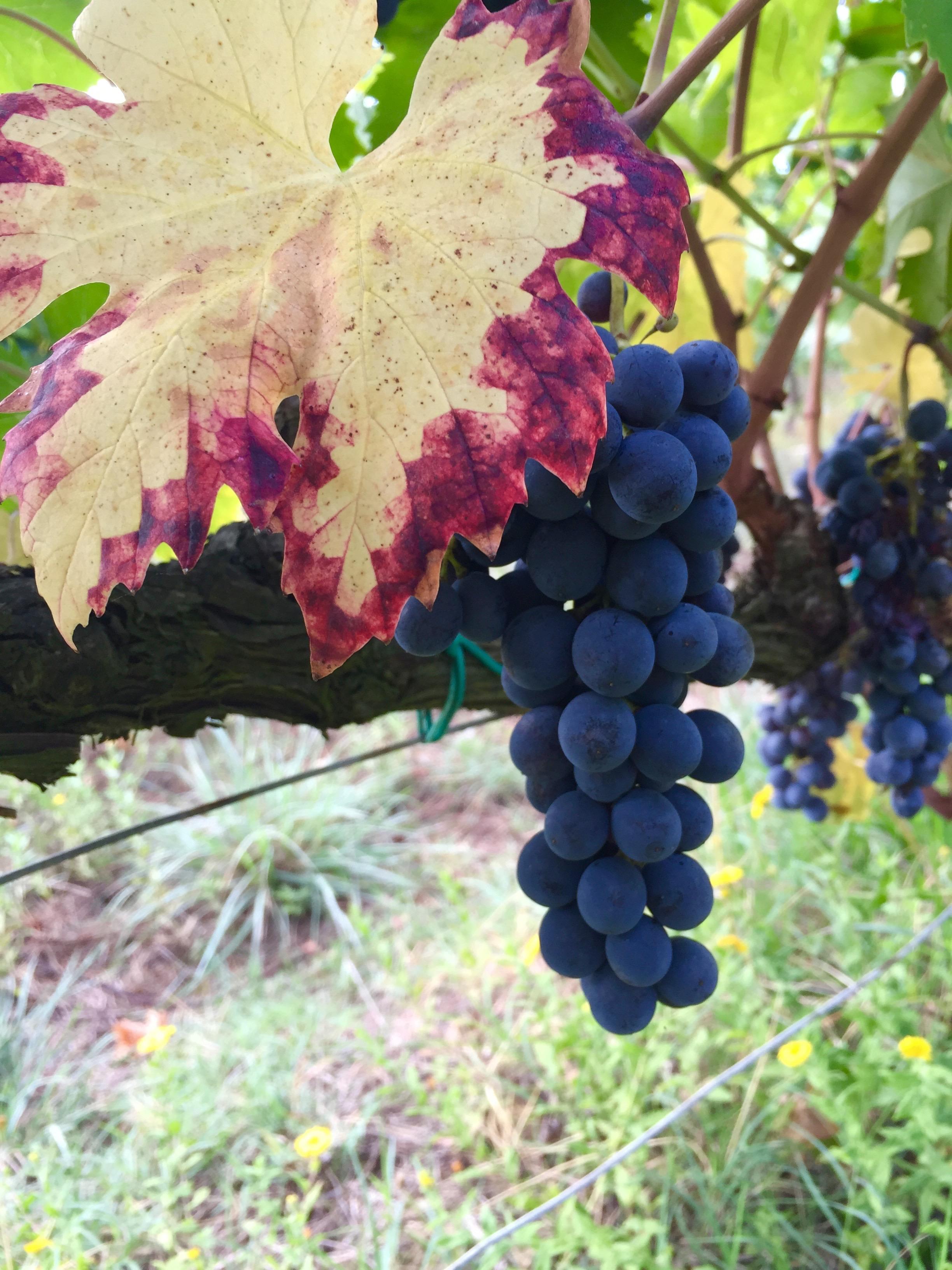 Grape harvest thesweetwanderlust.com