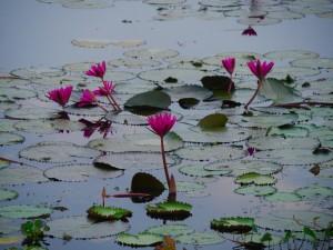 lotus on the backwaters of Kerala thesweetwanderlust.com