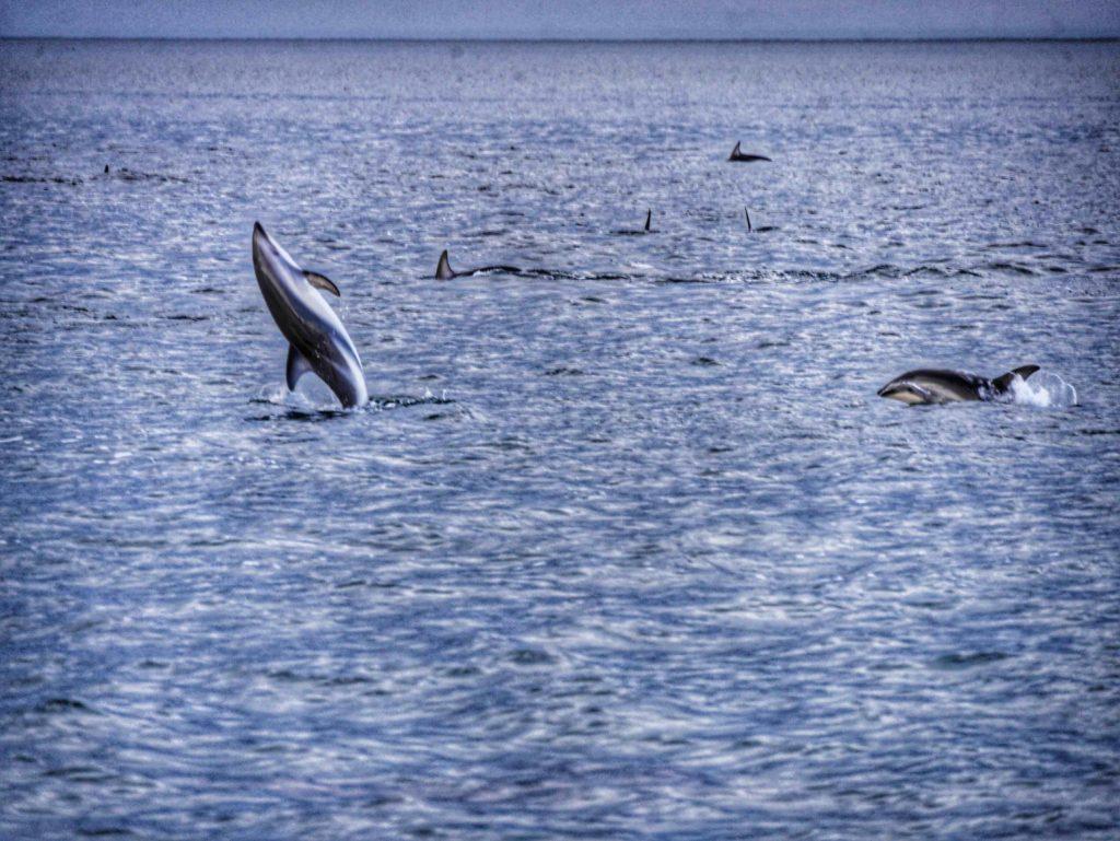Kaikoura Dolphin Encounter thesweetwanderlust.com