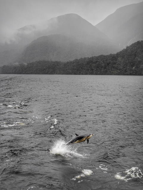 Bottlenose dolphins in Doubtful Sound New Zealand thesweetwanderlust.com