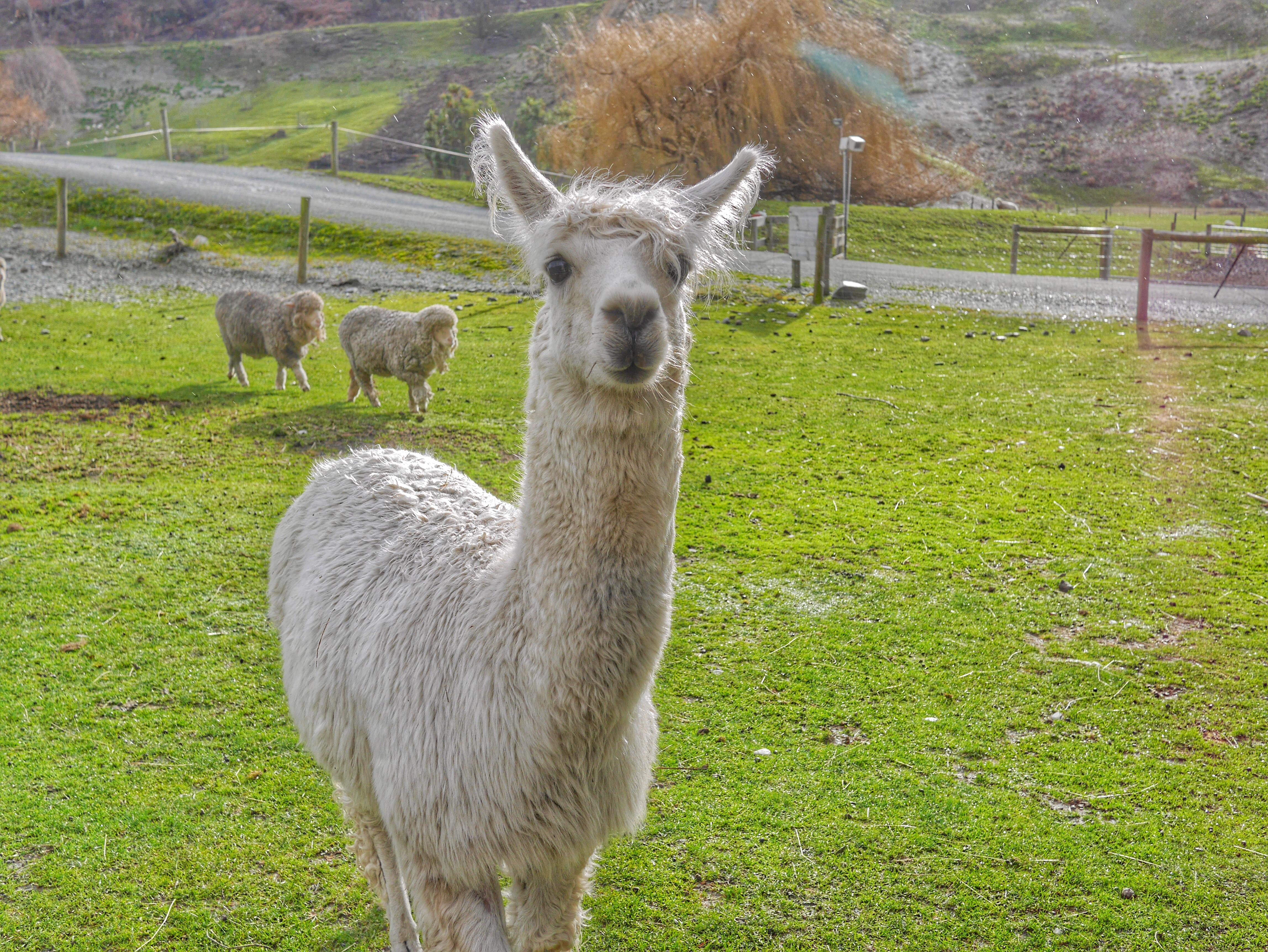 TSS Earnslaw Walter Peak Farm alpaca thesweetwanderlust.com