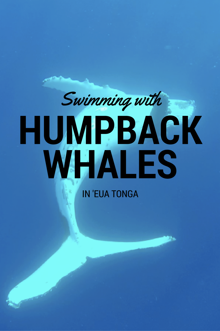 Swimming with humpback whales in 'Eua Tonga thesweetwanderlust.com