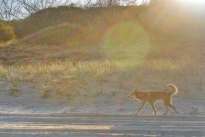 Dingo on Fraser Island Australia thesweetwanderlust.com