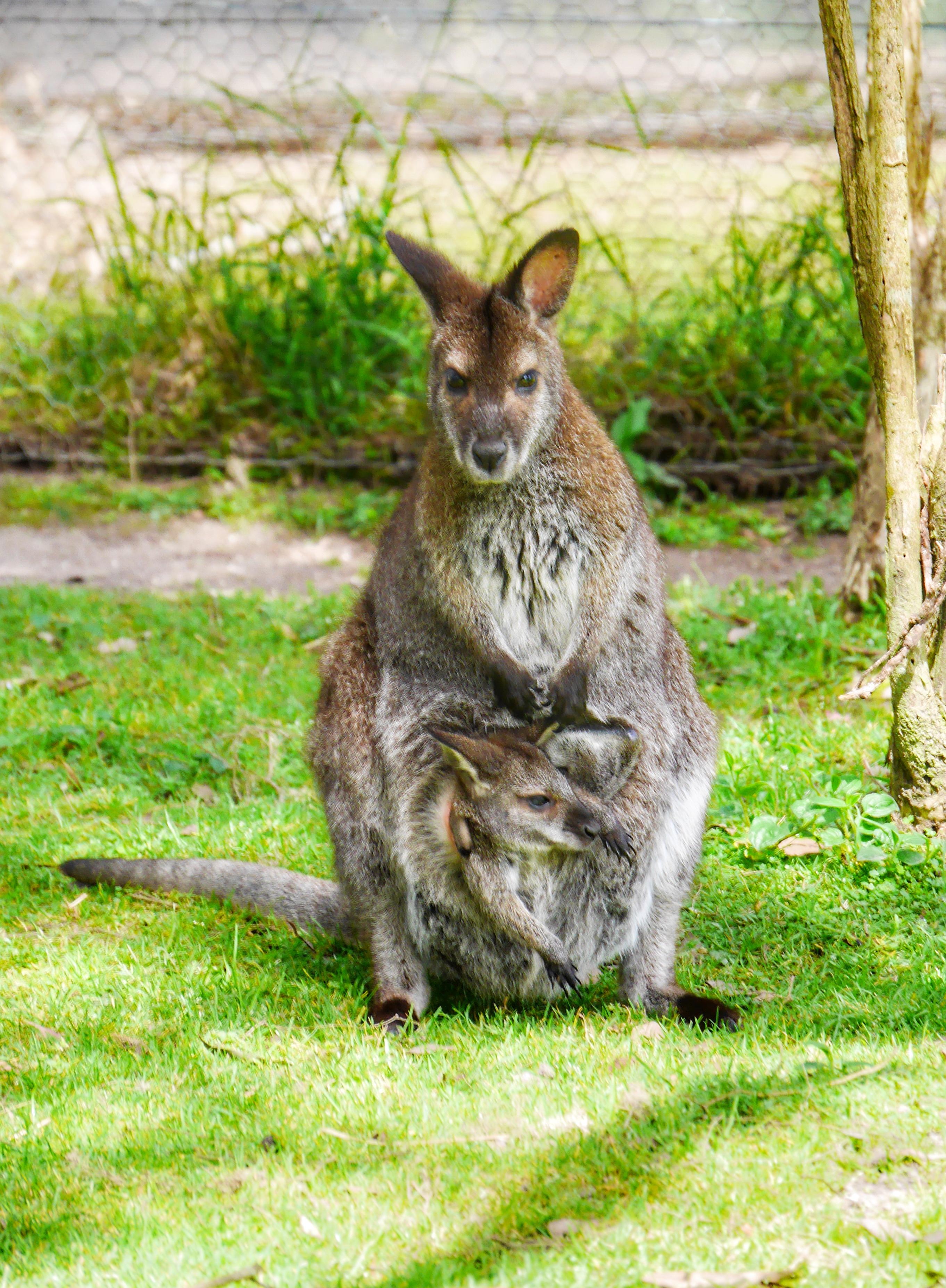 Healesville Sanctuary Melbourne kangaroos thesweetwanderlust.com