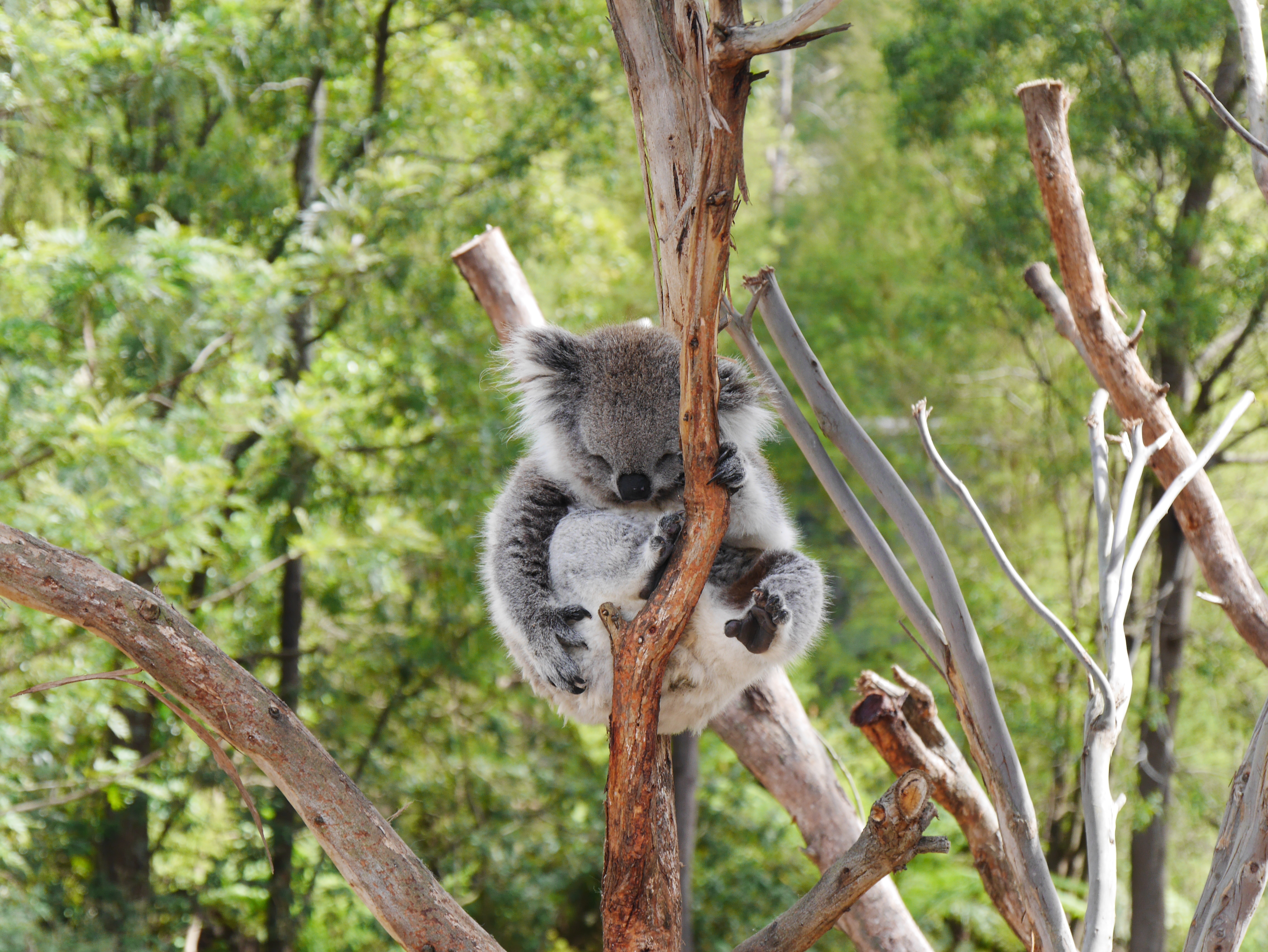 Healesville Sanctuary Melbourne koala thesweetwanderlust.com