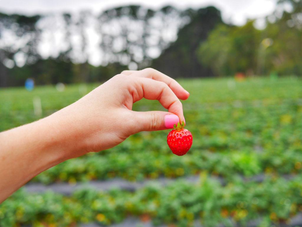 Sunny Ridge Strawberry Farm Mornington Peninsula