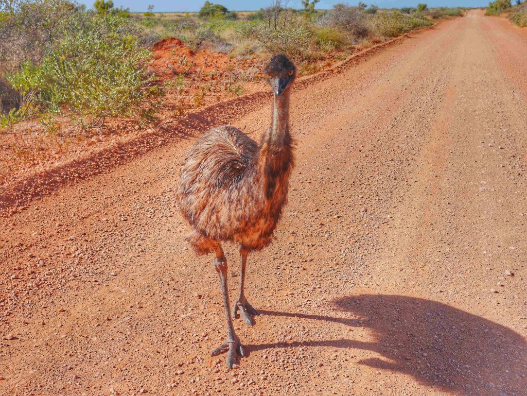 Exmouth Emu