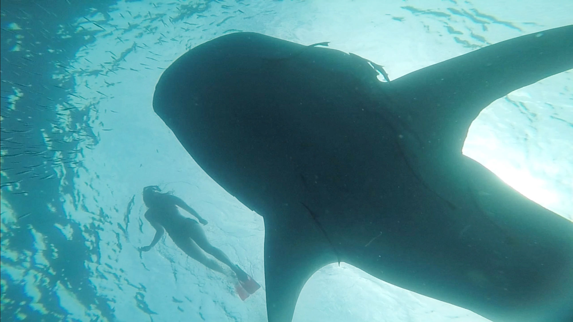 Whale Shark Swim Exmouth Australia