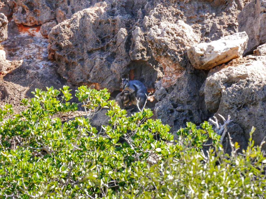 Yardie Creek black footed wallaby Exmouth Australia