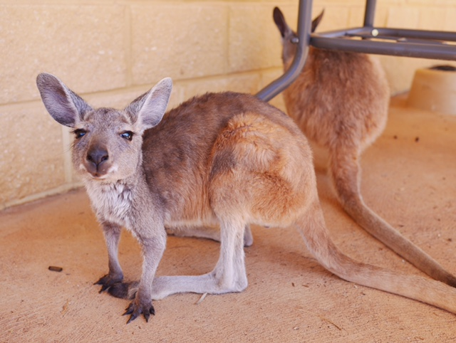 kangaroo foster joey Exmouth