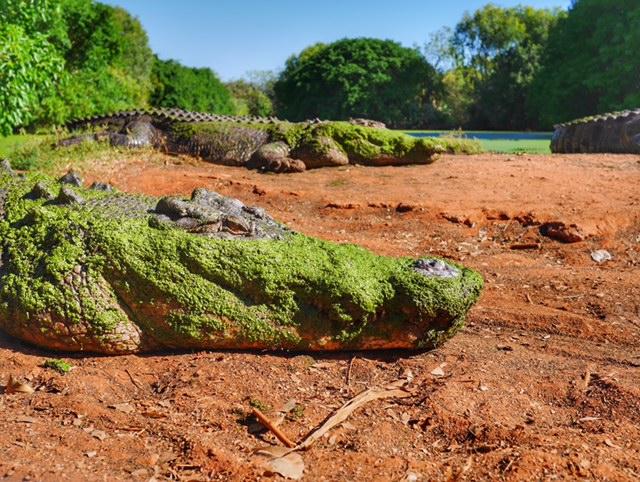 Feeding time at Malcolm Douglas Crocodile Park Broome Australia