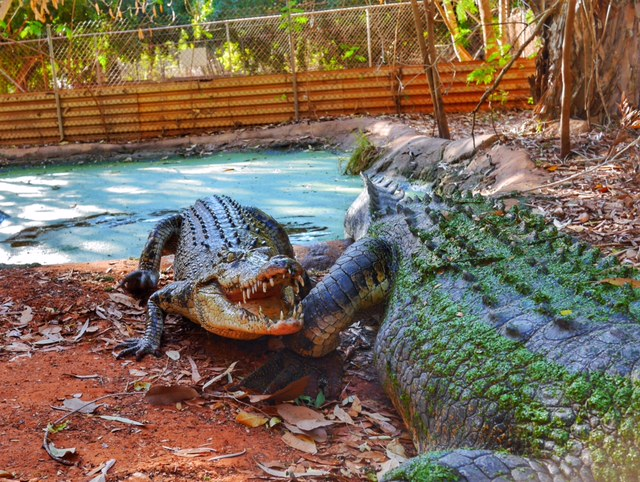 Feeding time at Malcolm Douglas Crocodile Park Broome Australia