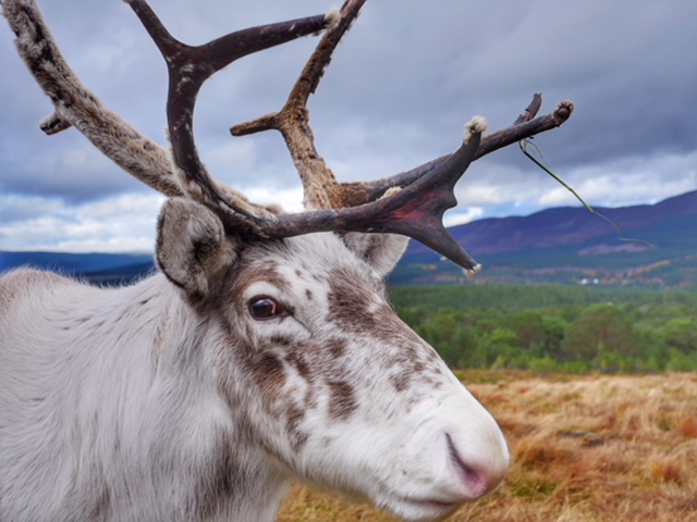 Cairngorm National Park reindeer