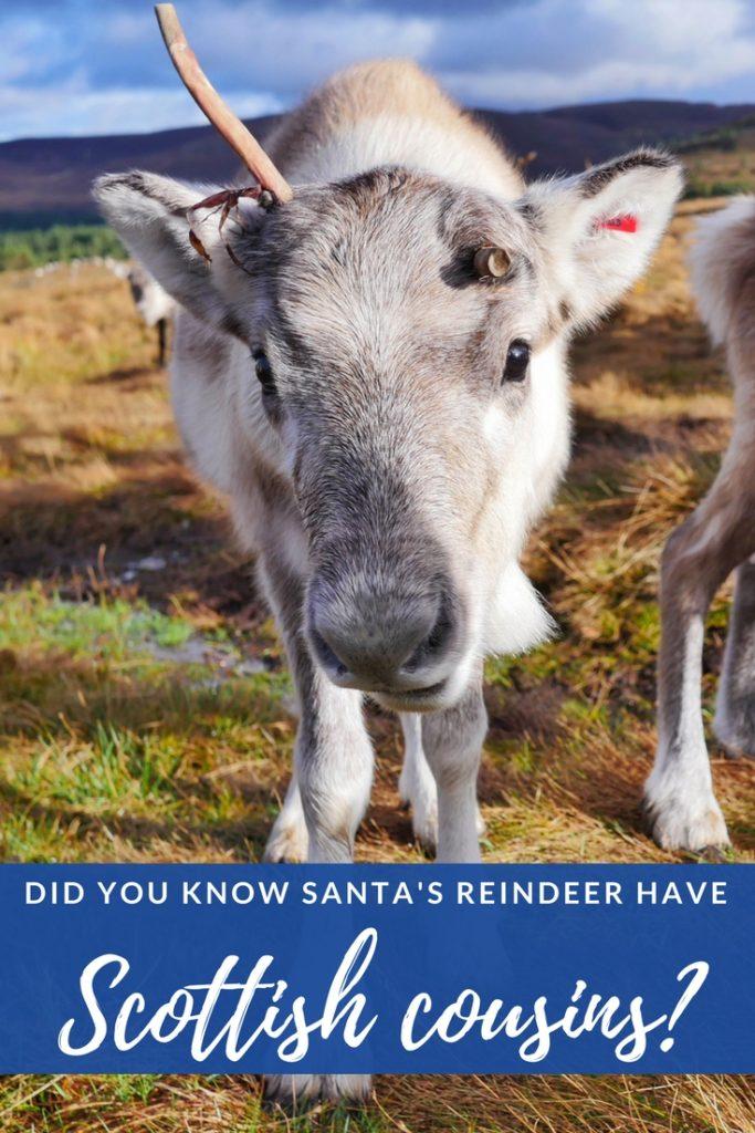 Scotland's Cairngorm reindeer