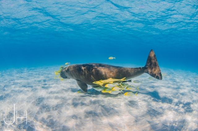 Dugong Ningaloo Reef