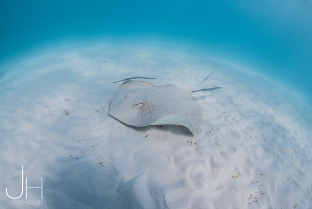 Leopard Ray Ningaloo Reef