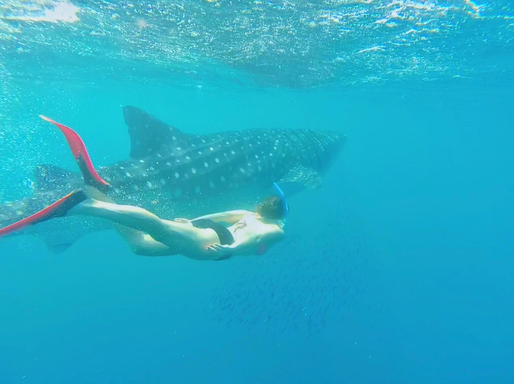 Swimming with whale sharks in Ningaloo