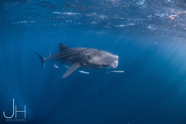 Whale Shark swim Exmouth
