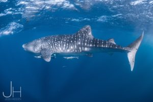 Swimming with whale sharks at Ningaloo Reef