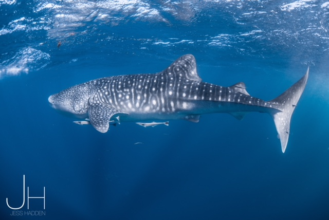 Whale shark season NIngaloo Reef