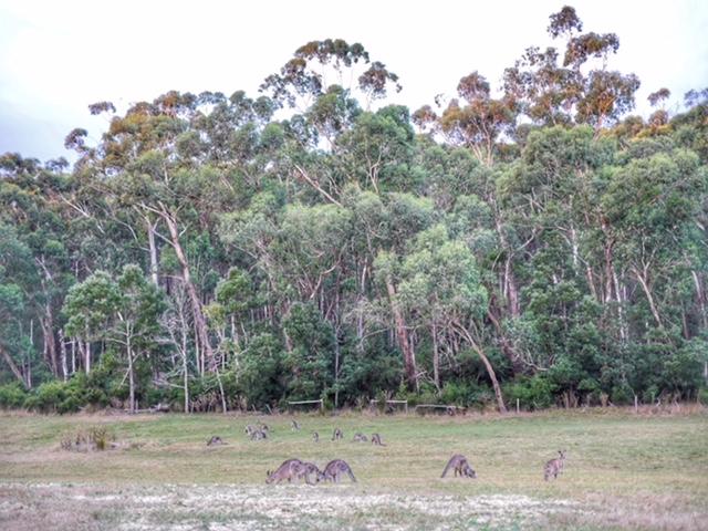 Glamping Hub Big4 Yarra Valley kangaroos