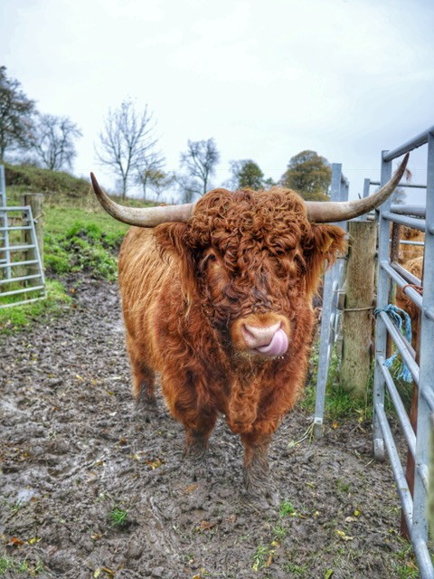 Castle of Park Scotland Highland cow