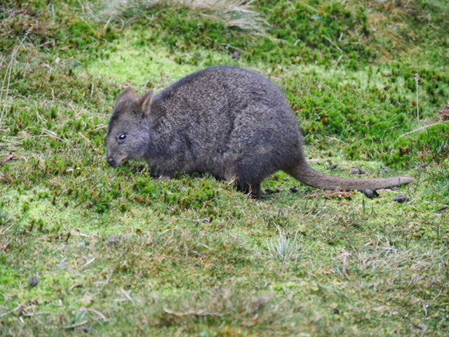 Pademelon at Peppers Cradle Mountain Lodge