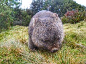 wombat at Cradle Mountain Lodge