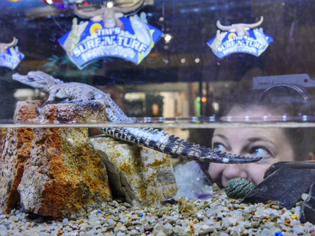 baby crocodile at Darwin restaurant - Tim's Surf & Turf