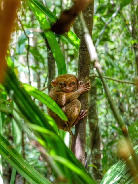 BetterMan Tours - Bohol Day Tour - Tarsier