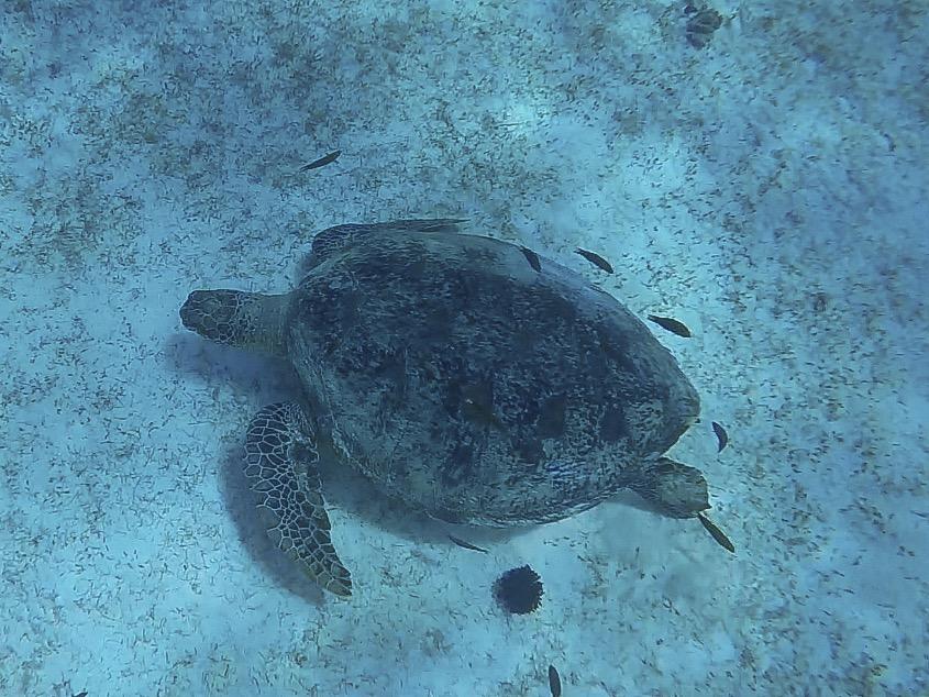 BetterMan Tours snorkel trip Balicasag Turtle sanctuary