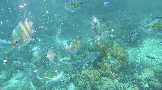 BetterMan Tours snorkel trip from Alona Beach - fish feeding