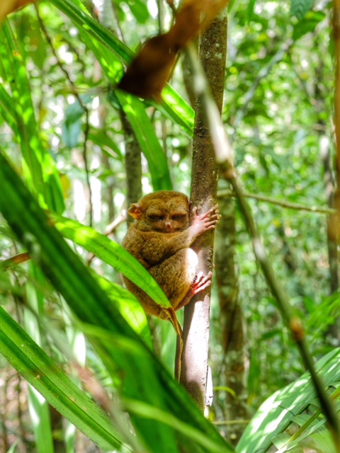 Tarsier - BetterMan Tours - Bohol Day Tour