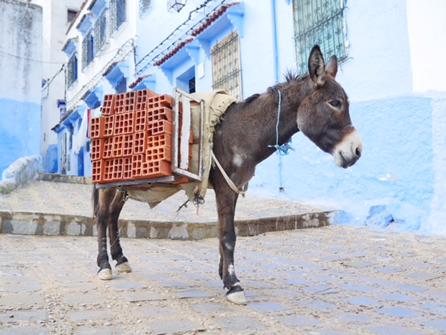Donkey in Chefchaouen - the blue city of Morocco