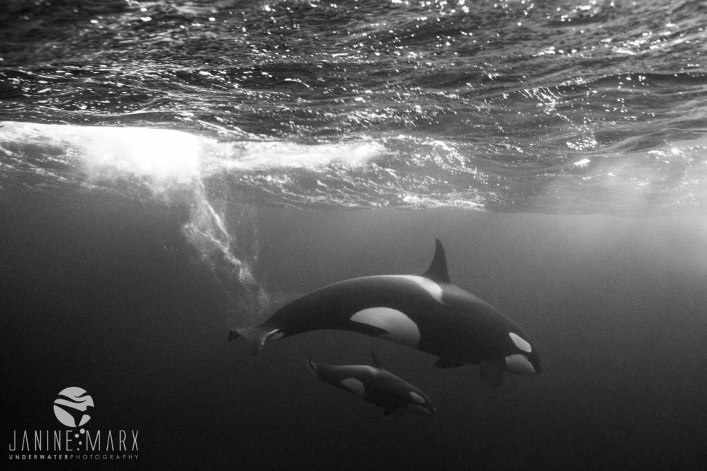 Janine Marx Photography - Orca mom and baby