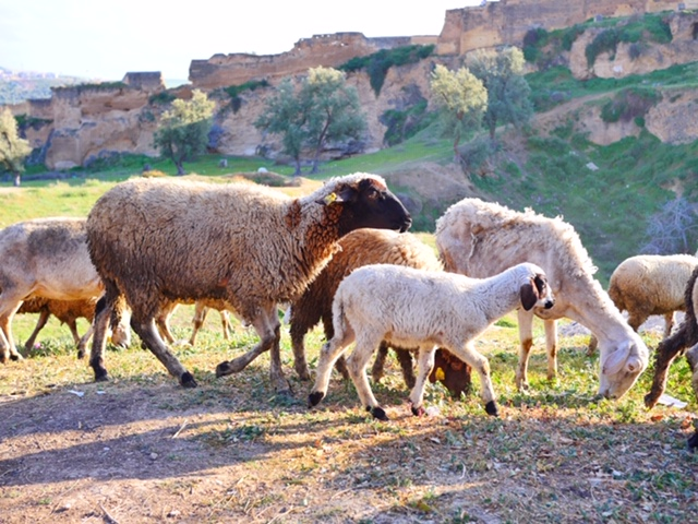 Sheep in Fes