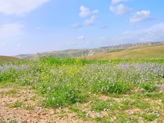 Field of wildflowers in Judean Desert Jeep trip with Abraham Tours