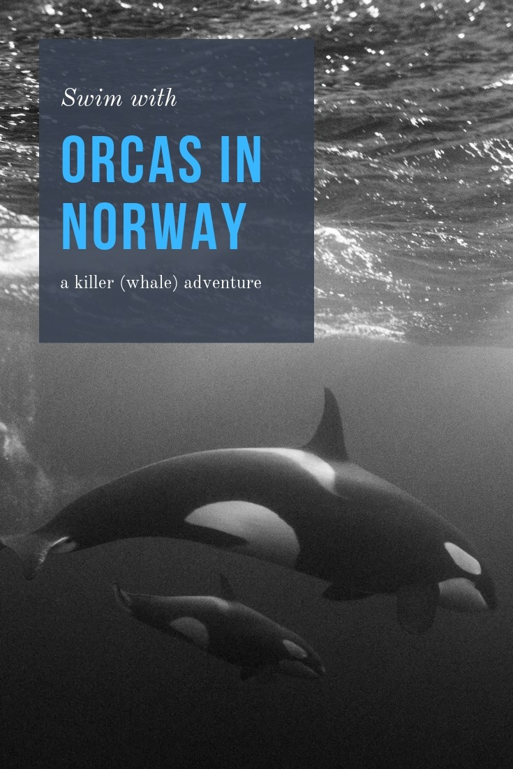 Swim with orcas Norway - a killer (whale) adventure